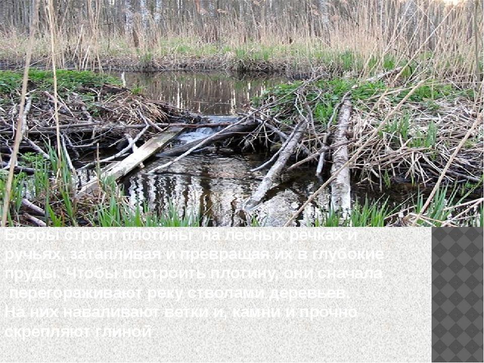 Бобры строят плотины на лесных речках и ручьях, затапливая и превращая их в г...