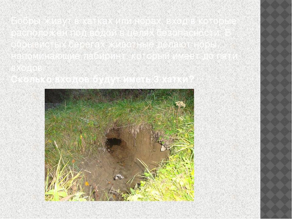 Бобры живут в хатках или норах, вход в которые расположен под водой в целях б...