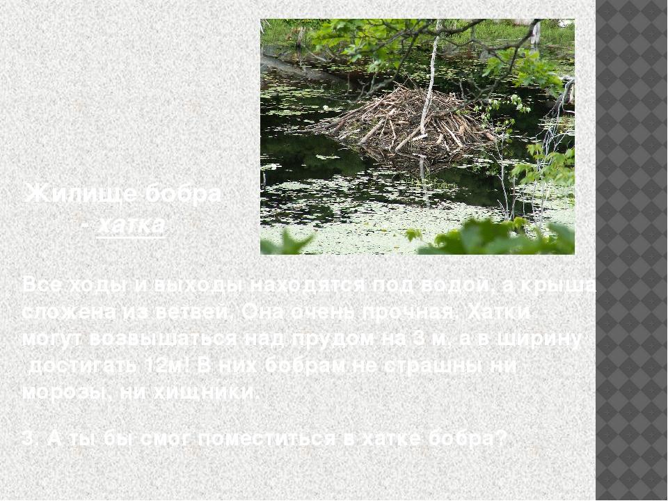Жилище бобра - хатка Все ходы и выходы находятся под водой, а крыша сложена и...
