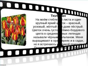 Тюльпан На моём стебле 2-3 листа и один крупный яркий цветок – красный, розо