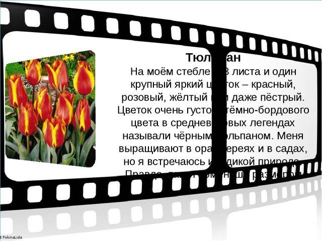 Тюльпан На моём стебле 2-3 листа и один крупный яркий цветок – красный, розо...