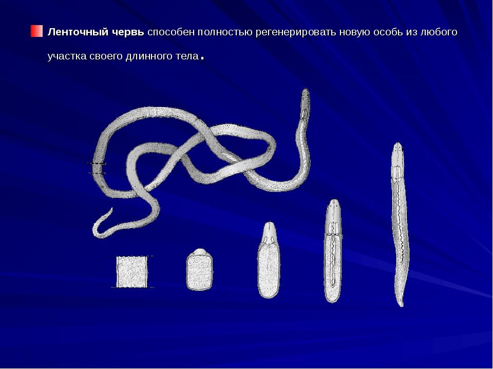 Ленточный червь способен полностью регенерировать новую особь из любого учас...