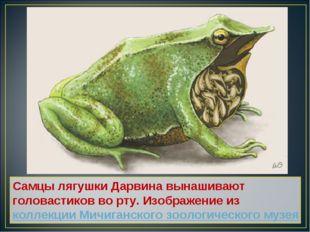Самцы лягушки Дарвина вынашивают головастиков во рту. Изображение из коллекци