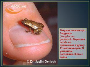 Лягушка зооглоссус Гарднера (Sooglossus gardineri). Взрослая особь не превыша
