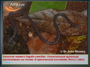 Безногая червяга Sagalla caecilian. Осязательные щупальца расположены на голо