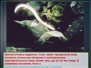 Протей (Proteus anguinus). Слеп, имеет прозрачную кожу, охотится, используя о