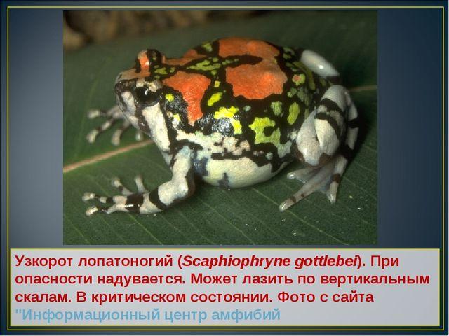 Узкорот лопатоногий (Scaphiophryne gottlebei). При опасности надувается. Може...