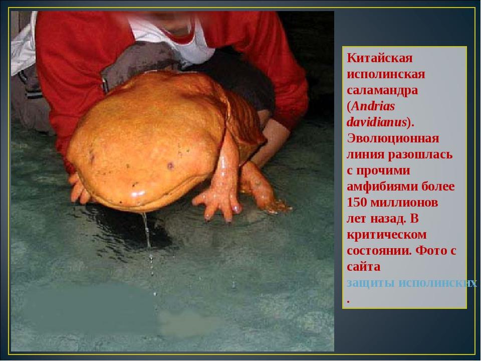 Китайская исполинская саламандра (Andrias davidianus). Эволюционная линия раз...