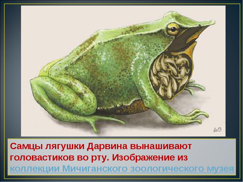 Самцы лягушки Дарвина вынашивают головастиков во рту. Изображение из коллекци...