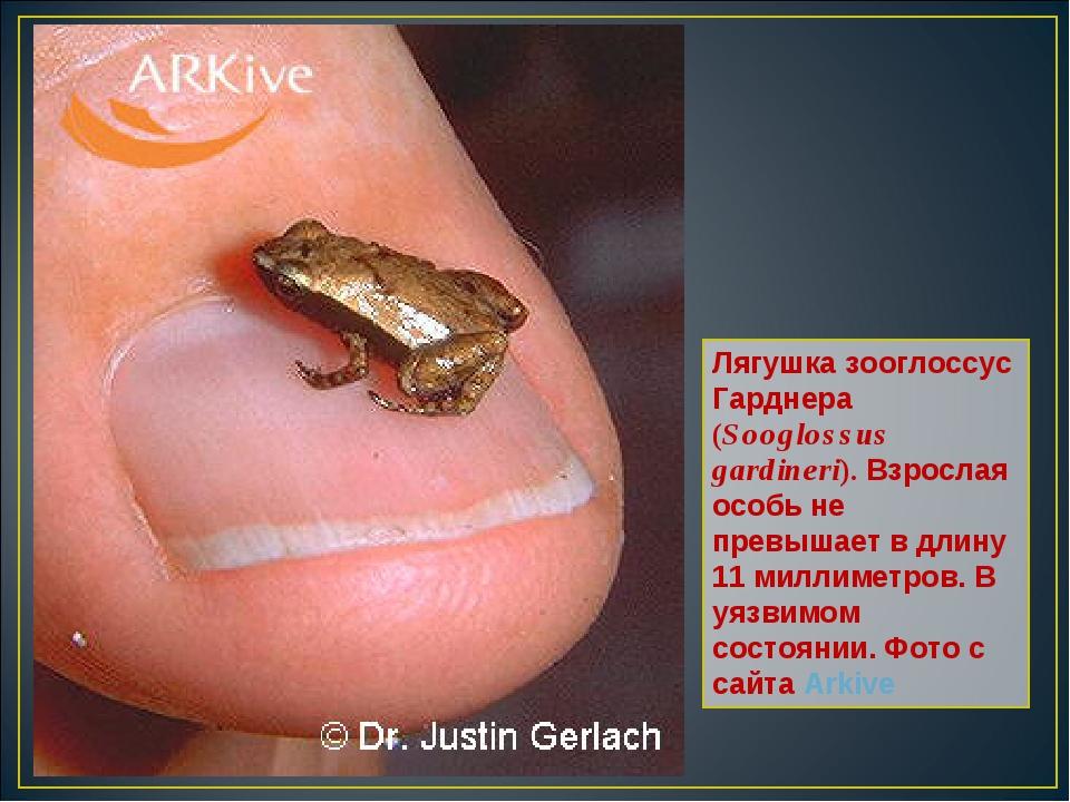 Лягушка зооглоссус Гарднера (Sooglossus gardineri). Взрослая особь не превыша...