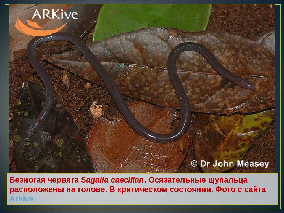 Безногая червяга Sagalla caecilian. Осязательные щупальца расположены на голо...
