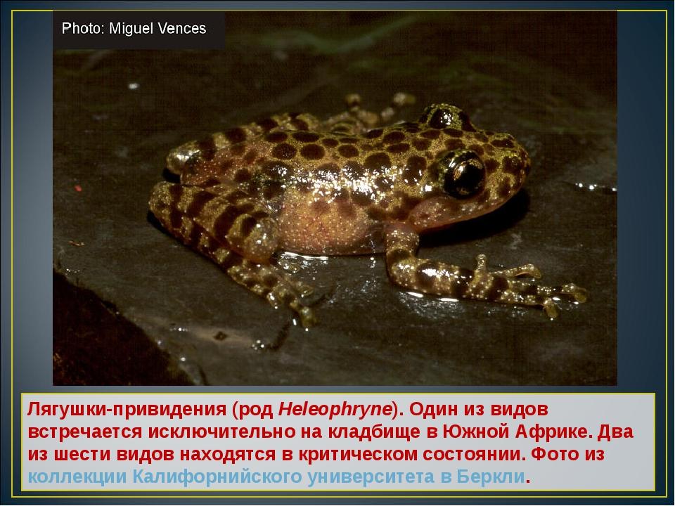 Лягушки-привидения (род Heleophryne). Один из видов встречается исключительно...