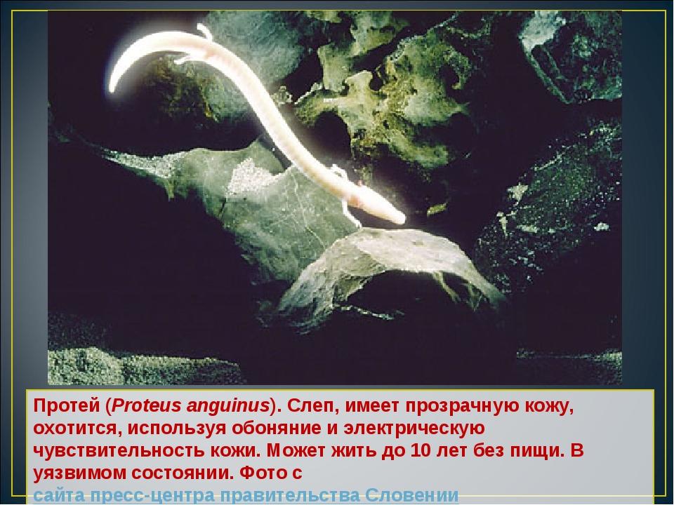 Протей (Proteus anguinus). Слеп, имеет прозрачную кожу, охотится, используя о...