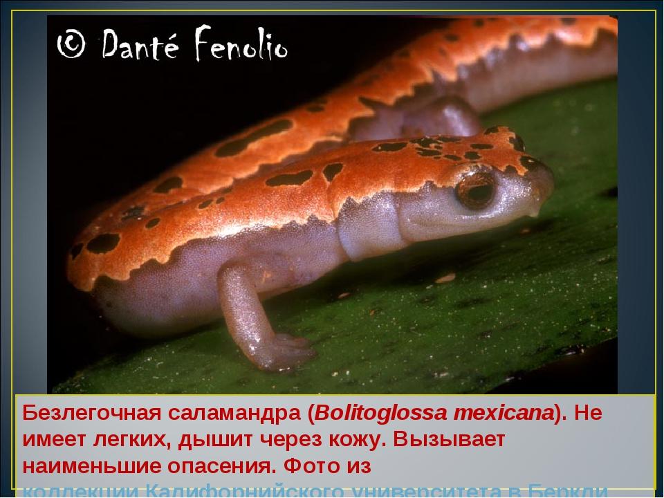 Безлегочная саламандра (Bolitoglossa mexicana). Не имеет легких, дышит через...