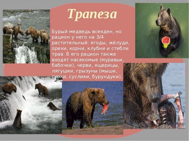 Трапеза Бурый медведь всеяден, но рацион у него на 3/4 растительный: ягоды, ж...