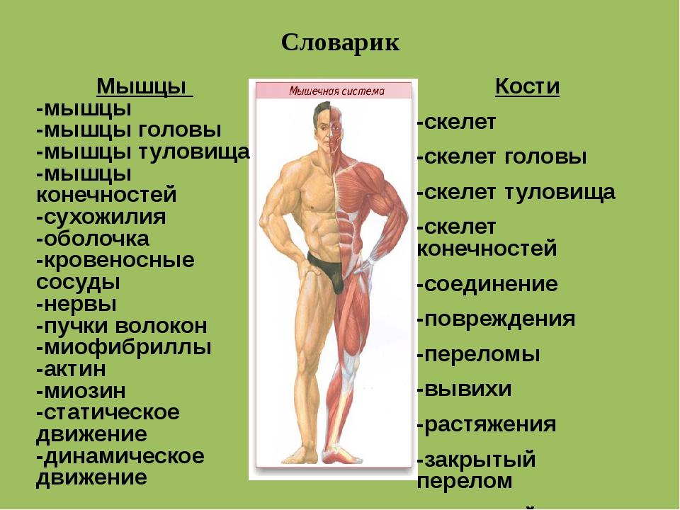 Словарик Кости -скелет -скелет головы -скелет туловища -скелет конечност...