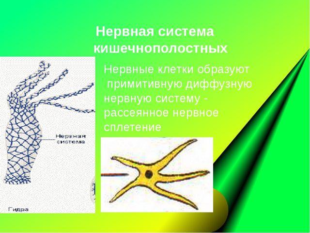 Нервные клетки образуют примитивную диффузную нервную систему- рассеянное не...