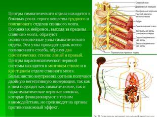 Центры симпатического отдела находятся в боковых рогах серого вещества грудно