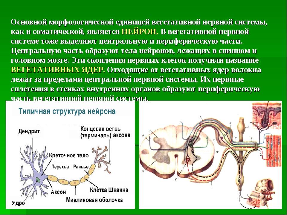 Основной морфологической единицей вегетативной нервной системы, как и соматич...