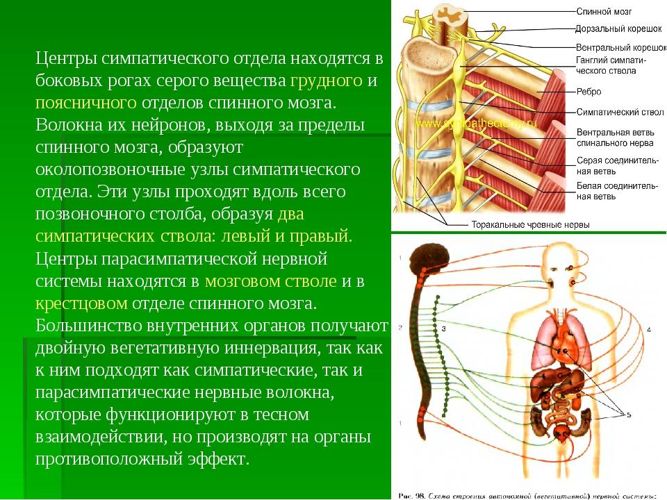 Центры симпатического отдела находятся в боковых рогах серого вещества грудно...