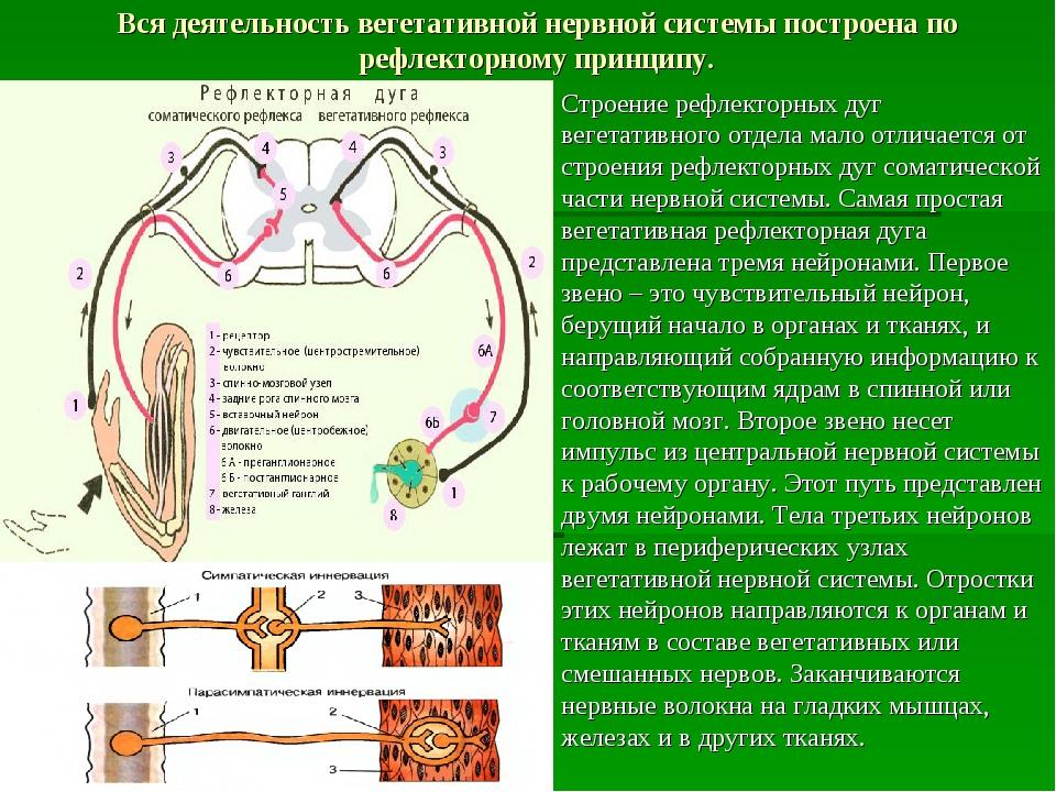 Вся деятельность вегетативной нервной системы построена по рефлекторному прин...