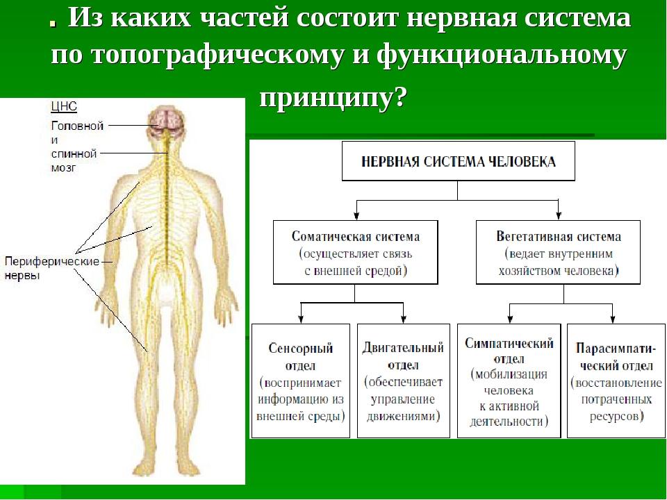 . Из каких частей состоит нервная система по топографическому и функционально...