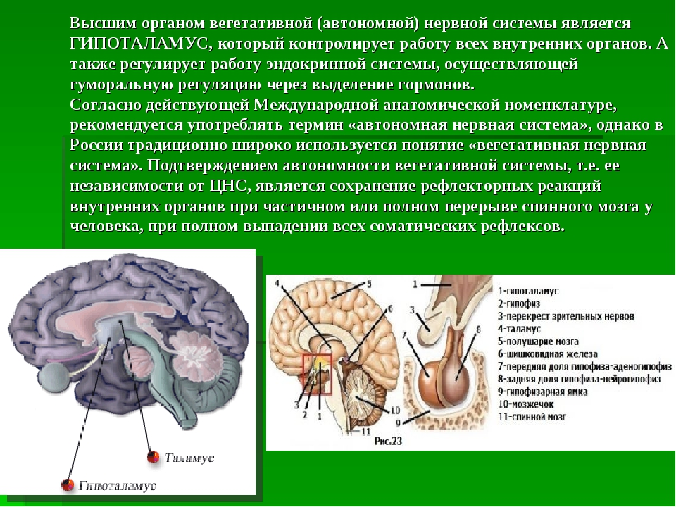 Высшим органом вегетативной (автономной) нервной системы является ГИПОТАЛАМУС...