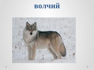 волчий