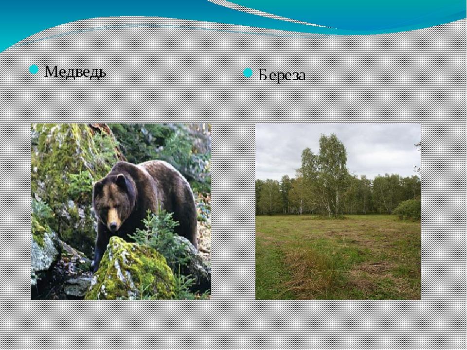 Медведь Береза