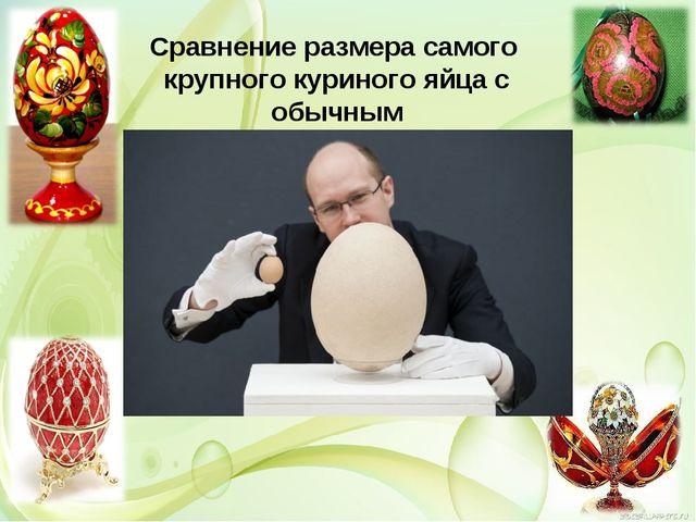 Сравнение размера самого крупного куриного яйца с обычным