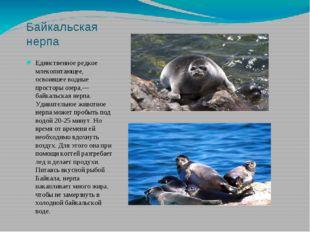 Байкальская нерпа Единственное редкое млекопитающее, освоившее водные простор