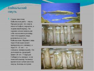 Байкальский омуль Самая известная байкальская рыба – омуль. Предполагают, что