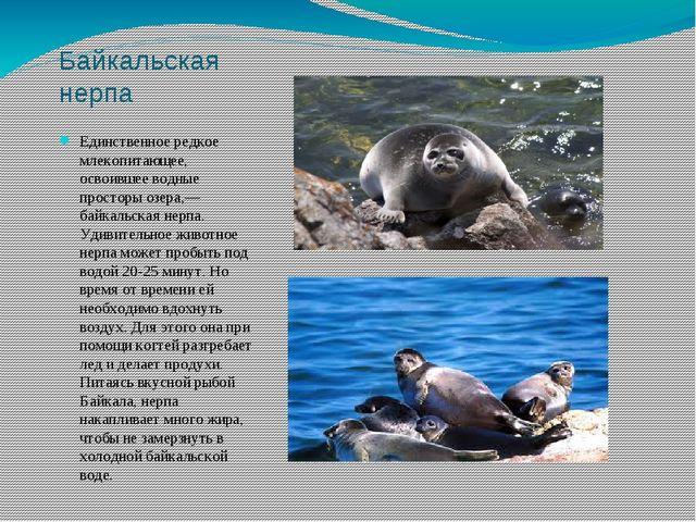 Байкальская нерпа Единственное редкое млекопитающее, освоившее водные простор...