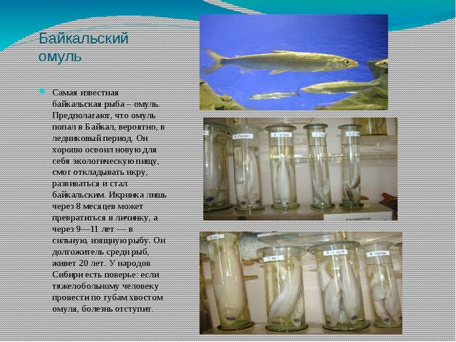 Байкальский омуль Самая известная байкальская рыба – омуль. Предполагают, что...