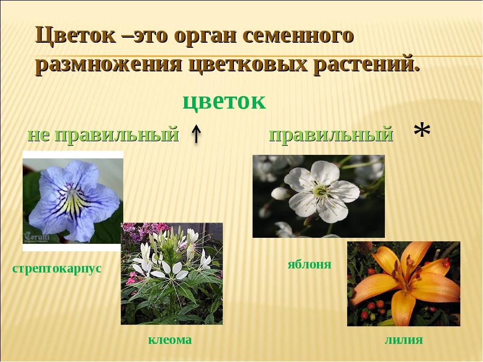 Цветок –это орган семенного размножения цветковых растений. цветок правильный...