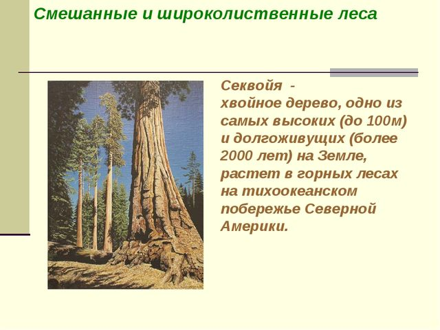 Смешанные и широколиственные леса Секвойя - хвойное дерево, одно из самых выс...