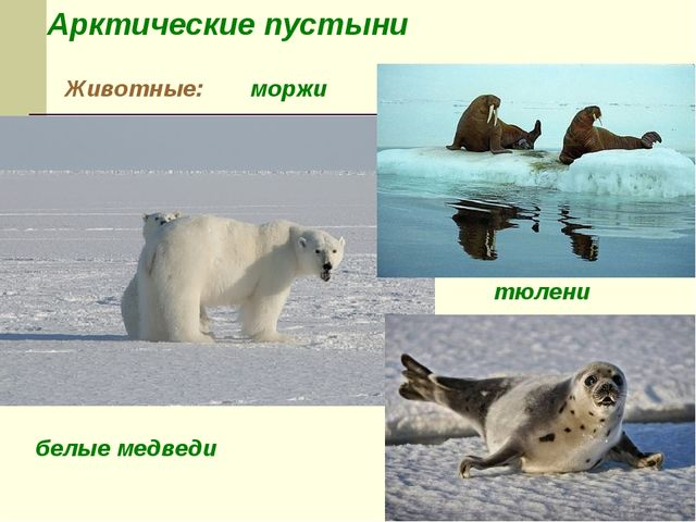 Арктические пустыни Животные: белые медведи тюлени моржи