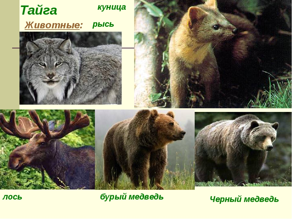 Тайга Животные: рысь лось бурый медведь куница Черный медведь