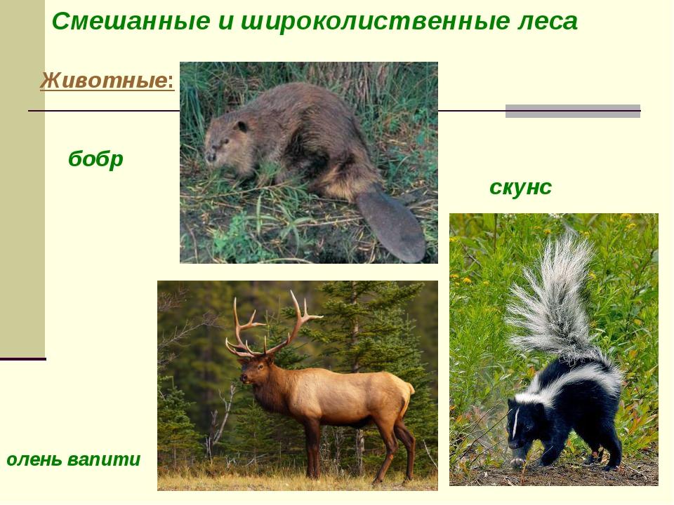 Животные: олень вапити бобр скунс Смешанные и широколиственные леса