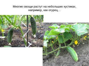 Многие овощи растут на небольших кустиках, например, как огурец…