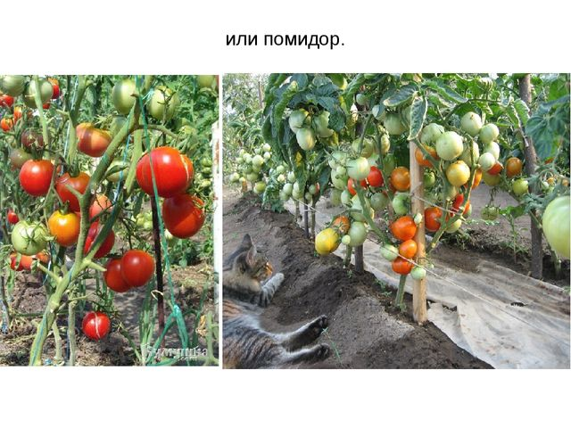 или помидор.