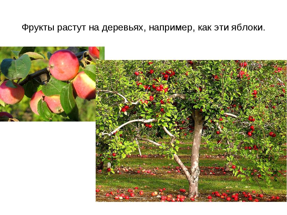 Фрукты растут на деревьях, например, как эти яблоки.