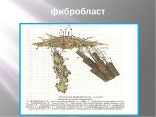 фибробласт