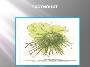 гистиоцит