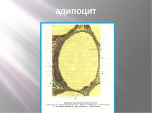адипоцит