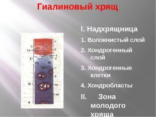Гиалиновый хрящ I. Надхрящница 1. Волокнистый слой 2. Хондрогенный слой 3. Хо