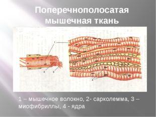 Поперечнополосатая мышечная ткань 1 – мышечное волокно, 2- сарколемма, 3 – ми