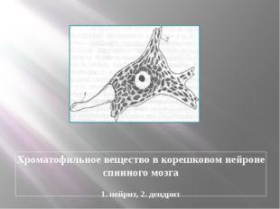 Хроматофильное вещество в корешковом нейроне спинного мозга 1. нейрит, 2. ден