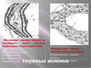 Нервные волокна Миелиновые нервные волокна из седалищного нерва лягушки, обра