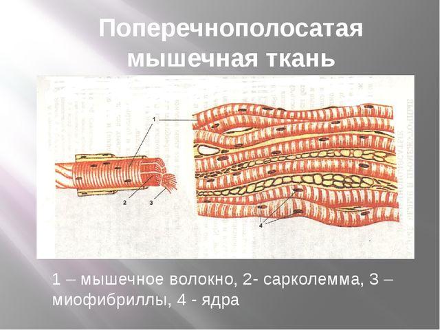 Поперечнополосатая мышечная ткань 1 – мышечное волокно, 2- сарколемма, 3 – ми...